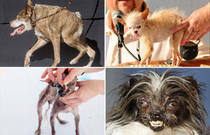 Meet the world's ugliest dog