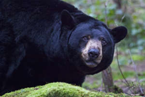 FILE - Black Bear. Moment/Getty Images