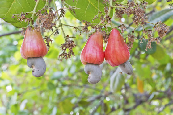 Slide 13 de 18: Even if you don't have a nut allergy, never eat a cashew nut from the tree. Raw cashews contain a toxic substance that can be fatal if eaten in large quantities. The raw cashews in supermarkets have been steamed to remove the dangerous chemical.