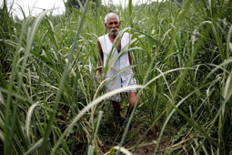 File: Farmer Nakli Singh, 68, walks in his sugarcane field in Shamli, in the northern Indian state of Uttar Pradesh July 19, 2014.