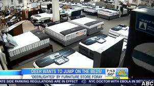 VIRAL: Deer Breaks Into Furniture Store And Jumps On Beds