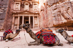 Camels resting at Petra archeological site in Jordan.