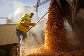 A worker empties corn kernels from a grain bin at DeLong Company in Minooka, Illinois, September 24, 2014.