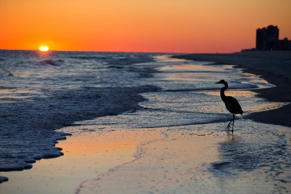 A blue herring walks along the beach at sunset.