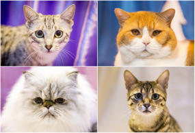 More than one thousand cats participated in the Supreme Cat Show 2015, one of the largest fancy competitions for felines in Europe. Held in Birmingham, UK, exhibitors swarmed the arena to have their cat names as the show's 'Supreme Exhibit.' Click through to see images from the show.