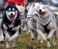 Dogs racing during a sled dog European Championship.