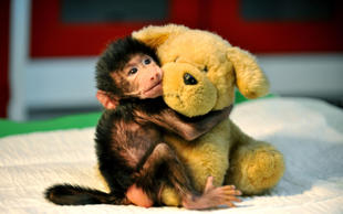 GAZIANTEP, TURKEY - NOVEMBER 15 :  A newborn baboon cuddles a teddy bear after its mom refused to have her at Gaziantep Zoo, in Gazitantep, Turkey on November 15, 2014. Gaziantep Zoo clinic chief and mother-of-two Ozsun Yurt Gunes (not seen) takes care of the newborn baby at her home after she finishes her shifts at the Zoo.