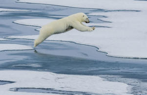 A mother polar bear leaping between floes in Nunavut, Canada.