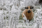 A sheep stands amidst ice covered plants on the Hohen Meissner mountain 750 meters above sea level near Hessisch Lichtenau, northeast of Frankfurt.
