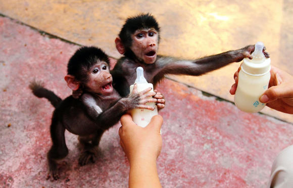 Baby Hamadryas baboons reach for milk bottles as a zookeeper feeds them at a zoo in Hangzhou, Zhejiang province September 17, 2014.