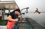 Genevieve Kurilec McDonald throws a female lobster back while checking a lobster trap off the coast of Stonington, Maine on Monday, September 22, 2014.