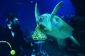 Senior aquarist Charles-Edouard Fusari, offers sprouts to 'Boris' a rare Green Sea turtle, during a photocall to promote the Christmas season at the Sea Life London Aquarium.