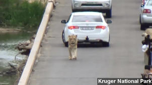 Lion Stops Traffic In South Africa's Kruger National Park
