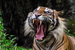 A tiger's picture in the Nature and Wilfdlife category of the 2015 Sony World Photography Awards.