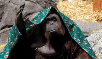 An orangutan named Sandra, covered with a blanket, gestures inside her cage at Buenos Aires' Zoo on December 8, 2010.