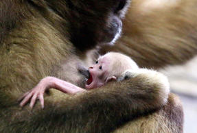 New Born beloruky gibbon