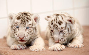 White Bengal tiger cubs