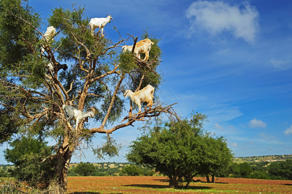 Goats in tree.