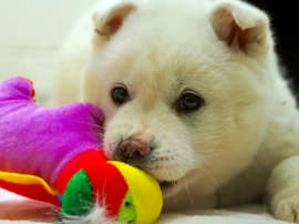 A dog called Snowball rescued from a dog meat farm in South Korea settles into the Animal Welfare League of Alexandria shelter January 5, 2015.