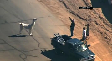 In this Associated Press video, one of two llamas is captured after running loose on the streets of Sun City, Ariz. on Feb. 26, 2015.