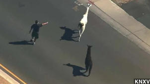 Great Llama Chase Of 2015 Inspires Media Hilarity