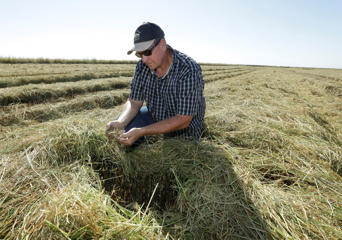 In this photo taken Friday, Oct. 10. 2014, rice farmer Mike DeWitt looks over some of his harvested rice fields near Davis, Calif.