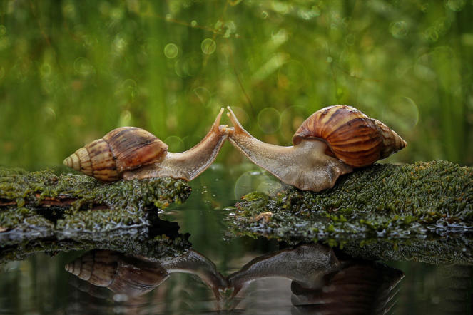 Snails appear to be kissing, Sambas, Indonesia