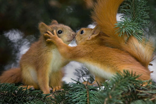 A pair of red squirrels appear to share a kiss, Minsk, Belarus