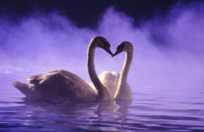 Pair of African swans swimming on misty pool
