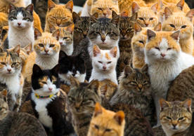 Cats crowd the harbour on Aoshima Island in the Ehime prefecture in southern Japan.