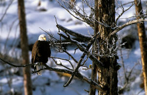 A bald eagles sits in a tree during the winter in Wyoming's Yellowstone National Park.