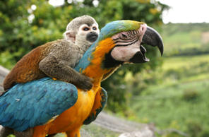 A monkey hitches a lift on back of parrot, San Agustin, Colombia on Oct. 20, 2010. Alejandro Jaramillo/Solent News/Rex Features