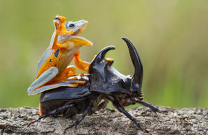 A frog rides on top of a beetle in Sambas, Indonesia.