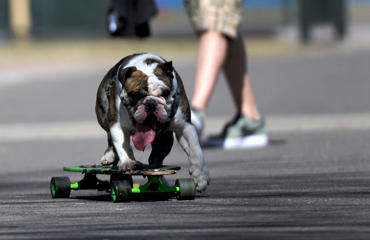 """Winston"" the dog learns to ride a skate board with his owner during a record-breaking warm day in the park on March 15."