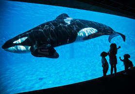 Young children get a close-up view of an Orca killer whale during a visit to the animal theme park SeaWorld in San Diego, California.