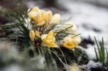 Blooming flowers are covered in snow and ice as a wintery mix falls in Washington, D.C. on the first day of spring, March 20, 2015.