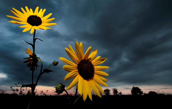 Slide 1 of 52: Wild sunflowers stand against a stormy sky at sunset in an Olathe, Kan. field Sunday, Sept. 18, 2011. (AP Photo/Charlie Riedel)