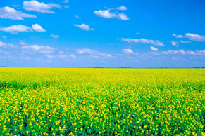 Canola fields in Saskatchewan, Canada.