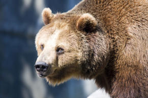File photo of a European brown bear in the Warsaw Zoo in Poland. LUke1138/Getty Images
