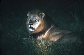A lion bearing a cut from an earlier scrap with his brother rests in the grass at night in Zimbabwe's Hwange National Park in May, 1997.
