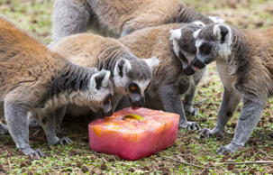 Ring tailed lemurs lick a block of flavoured ice at the Israeli zoo of Ramat Gan, north of the Mediterranean coastal city of Tel Aviv, on May 27, 2015 as temperatures reached 44 degrees Celsius (111 Fahrenheit). AFP PHOTO / JACK GUEZ        (Photo credit should read JACK GUEZ/AFP/Getty Images)