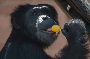 A chimpanzee tastes an ice cream bar received from a zookeeper to help endure the intense summer heat at the Zoo  in Rio de Janeiro, Brazil, on January 13, 2015.  AFP PHOTO / YASUYOSHI CHIBA        (Photo credit should read YASUYOSHI CHIBA/AFP/Getty Images)