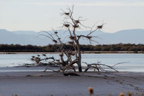 A fallen tree in the mud holds numerous heron nests, but littler water exists in an area that feeds the Salton Sea. Lenny Ignelzi/AP