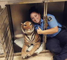 Kent County animal control officer Rachel Jensen poses with a stuffed tiger found on the driveway of a vacant home in Grand Rapids, Michigan, on May 28, 2015.