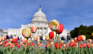 Visitors view tulips in blossom in front of the Capitol building in Washington D.C.