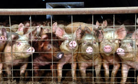 File photo of young pigs at a hog farm in central North Dakota in 2005.