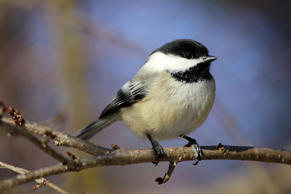 Black-capped chickadee perched on winter branches.